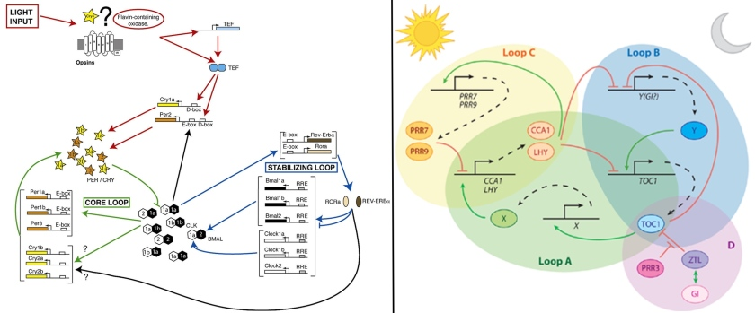 Two illustrations of how the molecular components make up the circadian clock. On the left - in zebrafish. Clock (CLK) and bmal (BMAL) proteins (there are 6 versions) interact to activate (green arrow) transcription of per and cry genes. PER and CRY proteins then interact with CLK and BMAL to repress (green line with flat on top) their activity. Per and cry are also activated by light. On the right - plants. CCA1 and LHY are the CLK and BMAL equivatlents, interacting to activate PRR7 and PRR9 which then repress CCA1 and LHY.