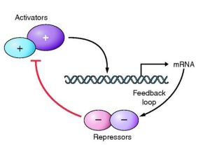 The feedback loop. Proteins join together to activate gene transcription of genes that subsequently repress the original proteins. This feedback generates oscillations of gene expression.