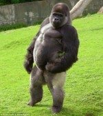 Gorilla walking like a man. CC talkrational.org