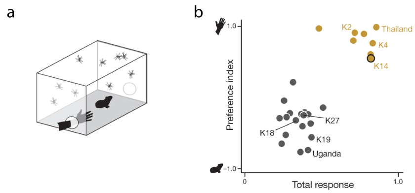 (a) A bite preference test - it's man vs guinea pig in there. (b) The domestic form (gold dots) prefers humans over guinea pigs and bites a lot more than the forest form (black dots). From figure 2: Evolution of mosquito preference for humans linked to an odorant receptor. McBride et al (2014).