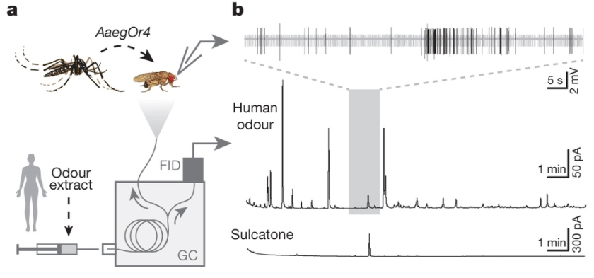 The researchers expressed the Or4 gene in Drosophila neurons - they respond when exposed to human odour and sulcatone. Figure 4: Evolution of mosquito preference for humans linked to an odorant receptor. McBride et al (2014).
