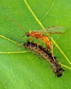A parasitoid wasp parasitising a caterpillar