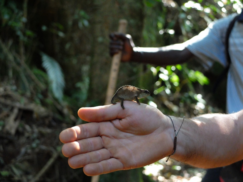 DSCF7127 - pygmy chameleon small