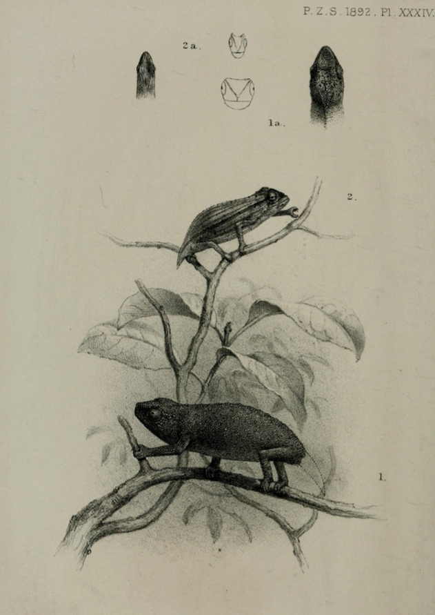 sketch of rhampholeon platyceps